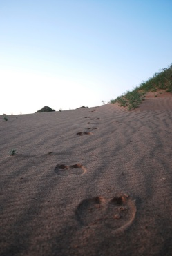 Camel prints in the Gobi - Version 2