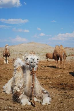 Camels - Version 2 (1)