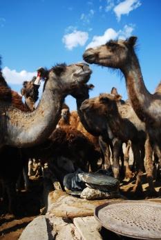 Camels - Version 2