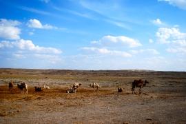 Camels - Version 3