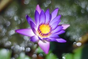 Lotus Blossom - Version 2