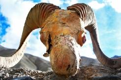 Ram Skull